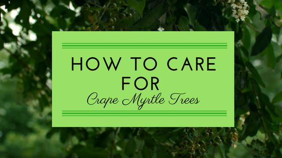 Crape Myrtle Trees