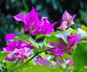 Ultimate Guide to Care of Bougainvillea Plants