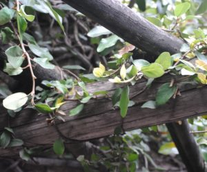 Four Attractive Climbing Vine With Blooming Flower