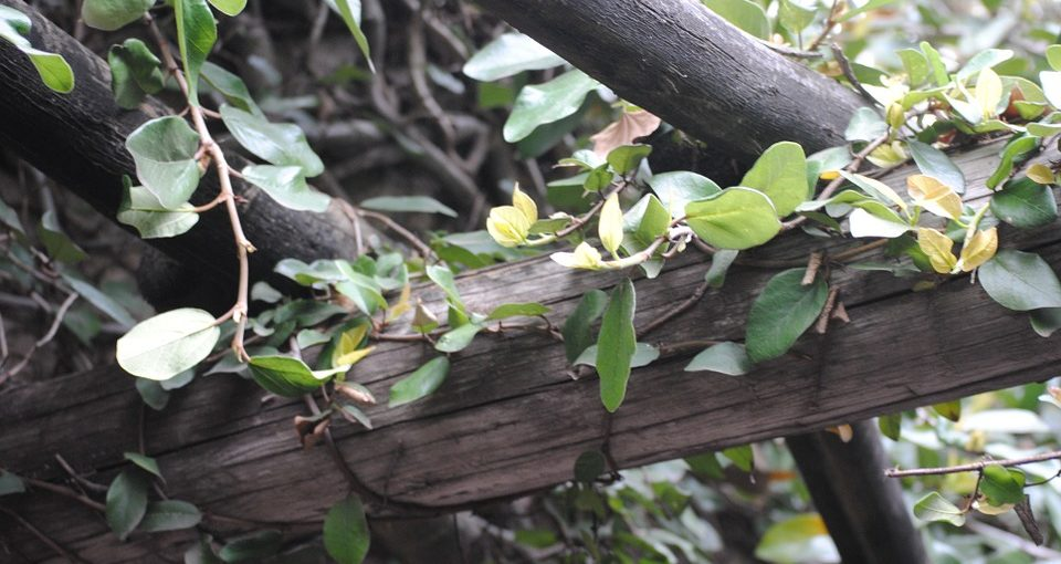 Attractive Climbing Vine With Blooming Flower