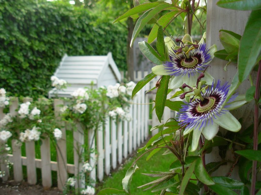 Passionflower or Passiflora