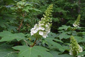 Hydrangea trees care