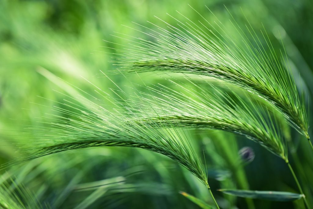 green foxtail-Weeds That Look Like Grass
